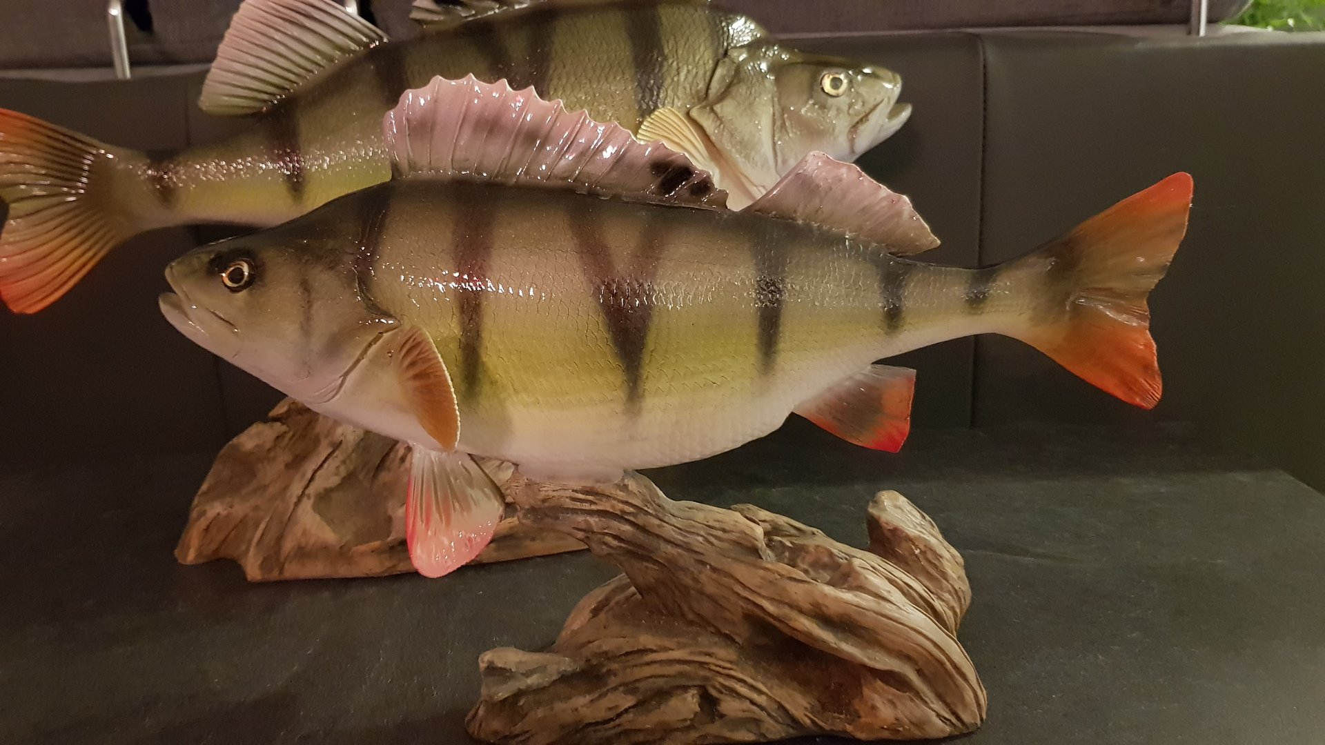 Perch 49 cm on driftwood